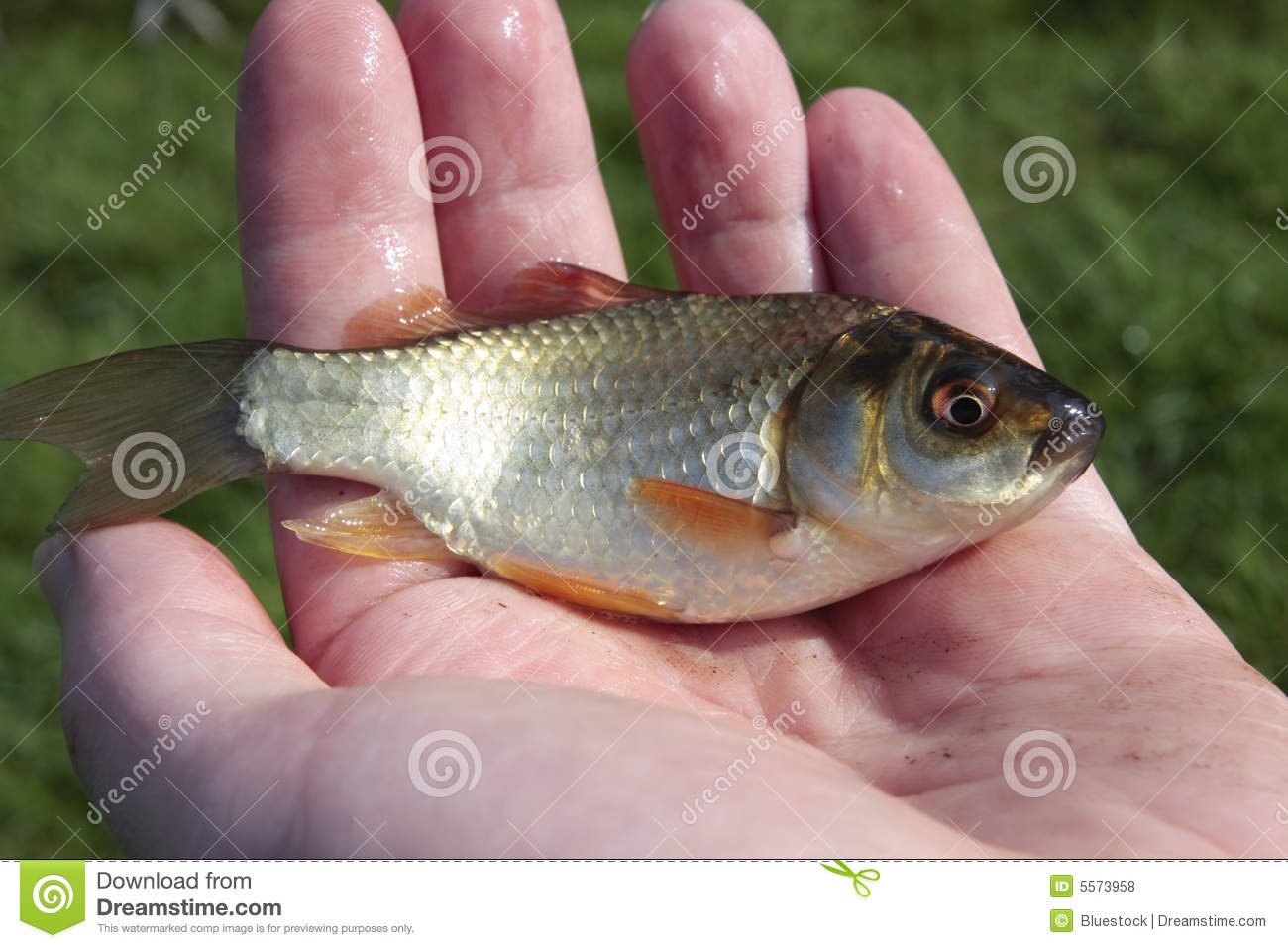 Small Fish In Man 39 S Hand Royalty Free Stock Photos Image
