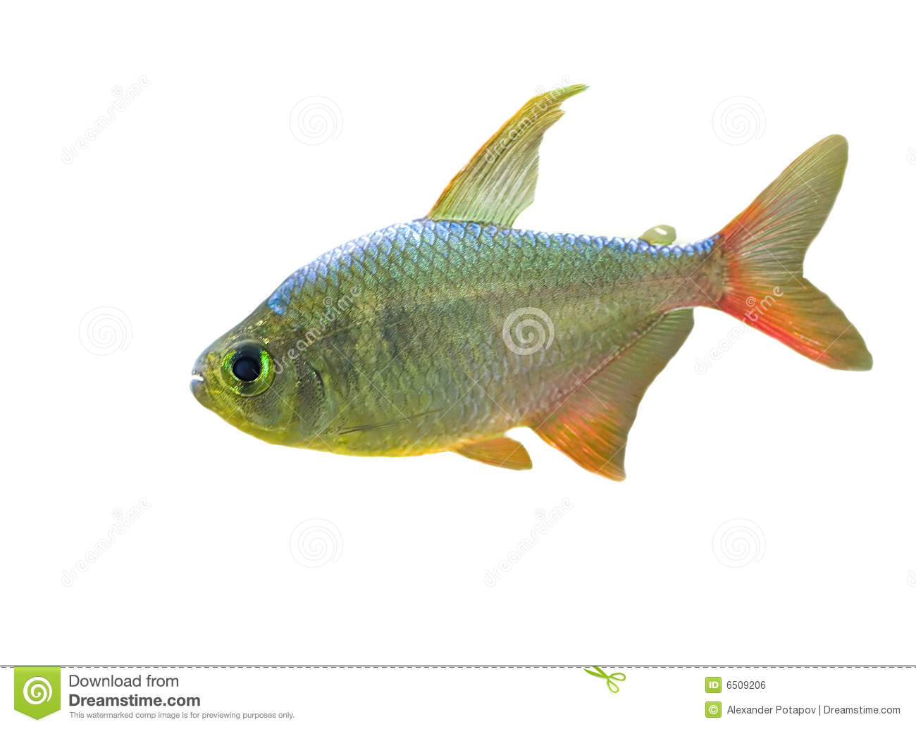 Small fish with red fin stock photo image of sample for Small fish pictures