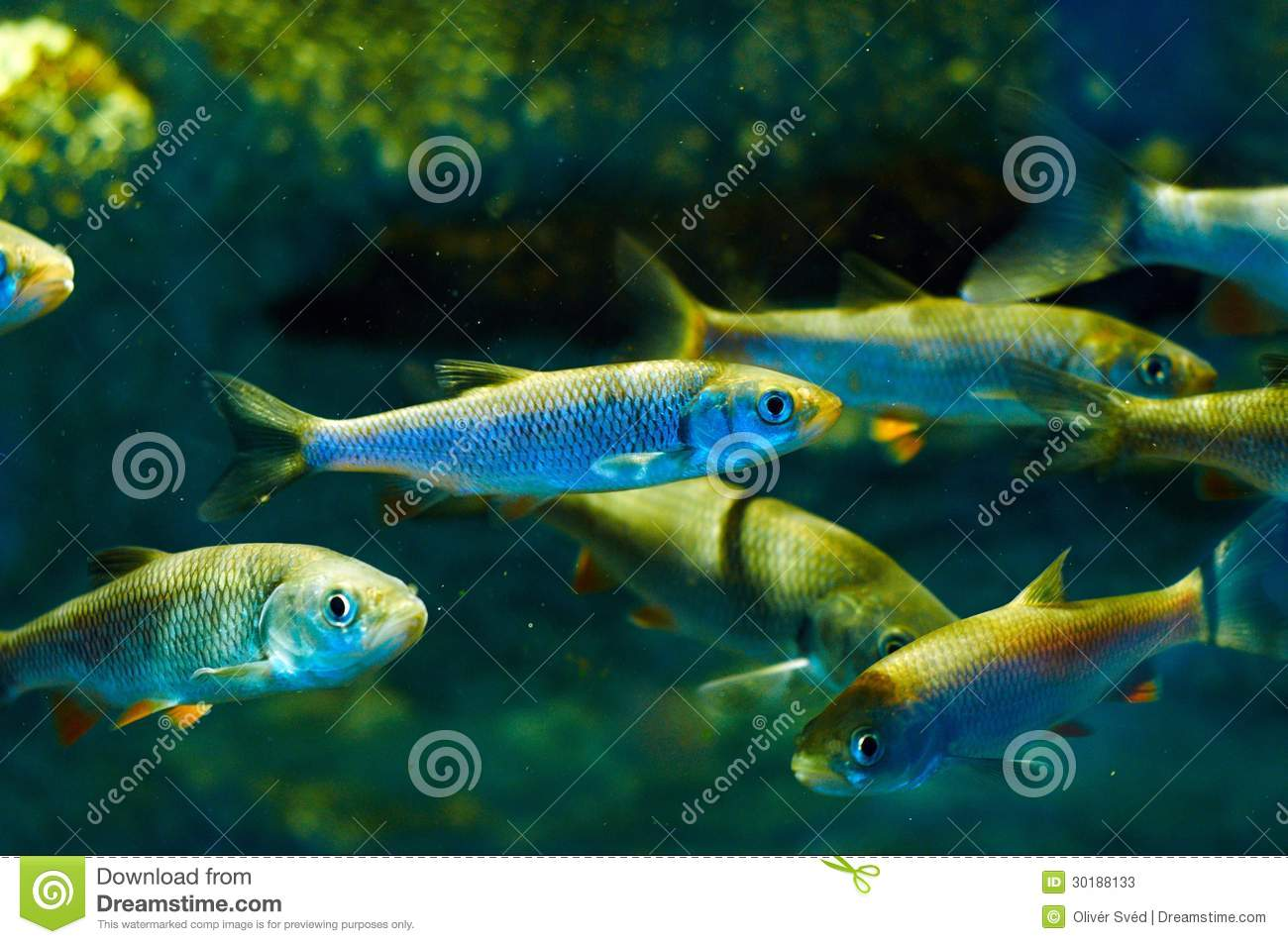 Small Fish In The Water Stock Photos Image 30188133