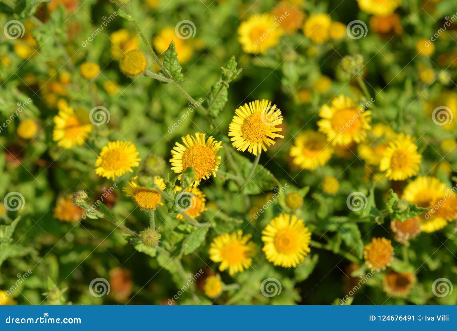 Small Fleabane Flowers Stock Image Image Of Botany 124676491