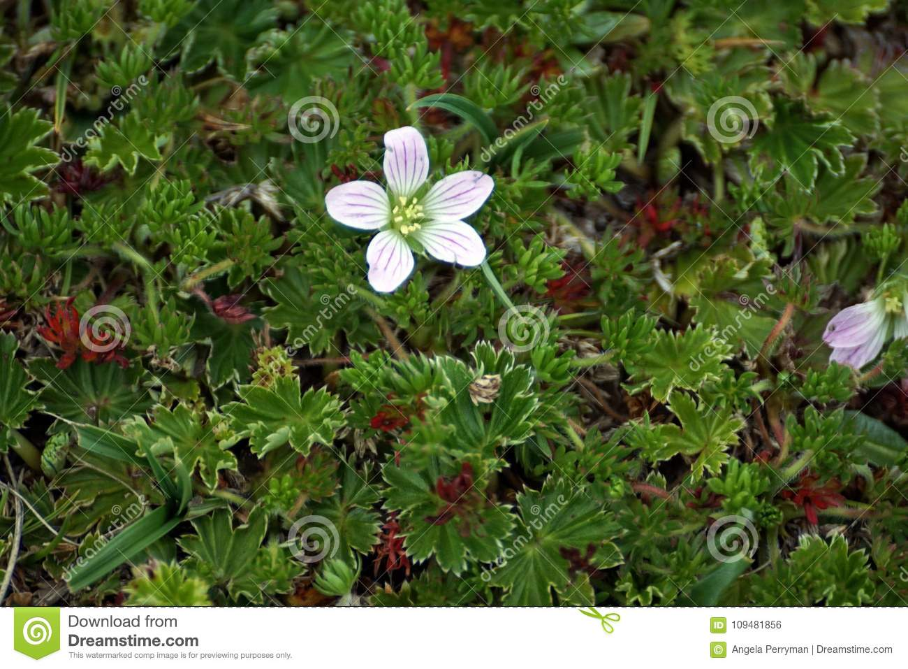 Small Flower In A High Altitude Ground Cover Stock Photo Image Of