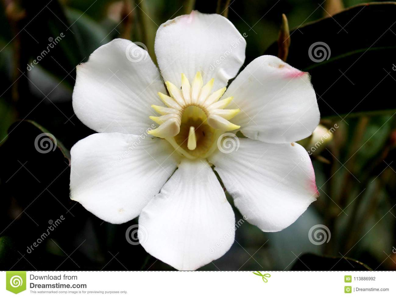 A Flower White With Six Petals Stock Photo Image Of Garden Forest