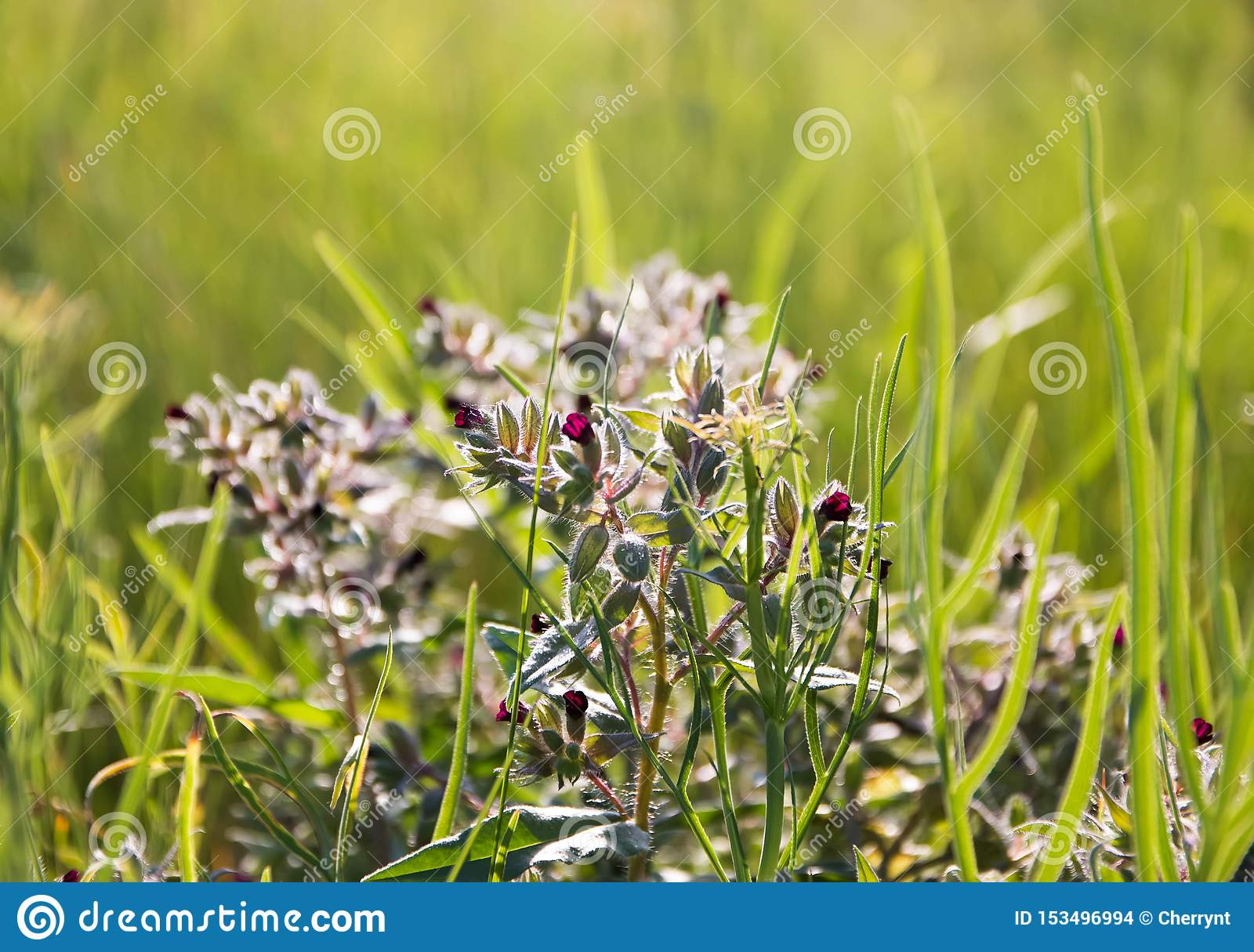 Small flowering flowers, on a green meadow