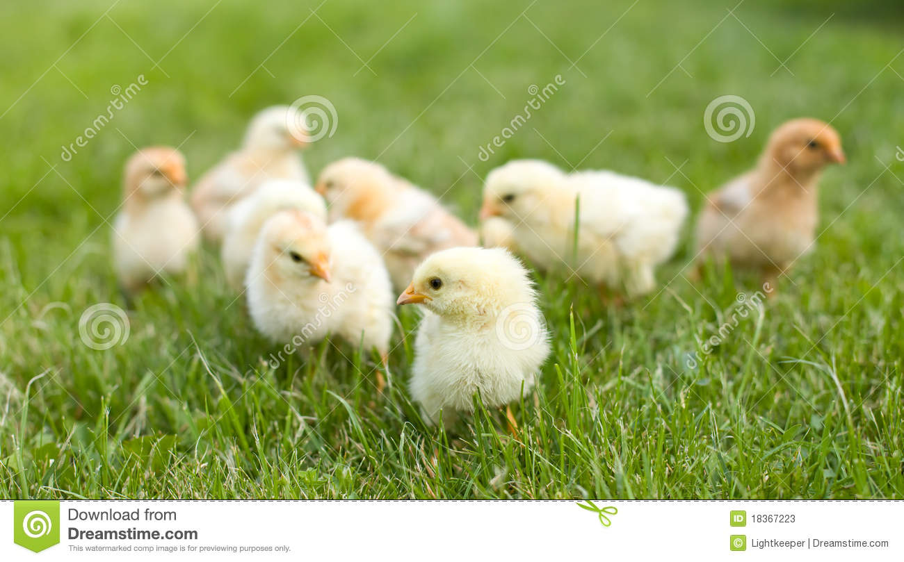 Small fluffy chickens in the grass