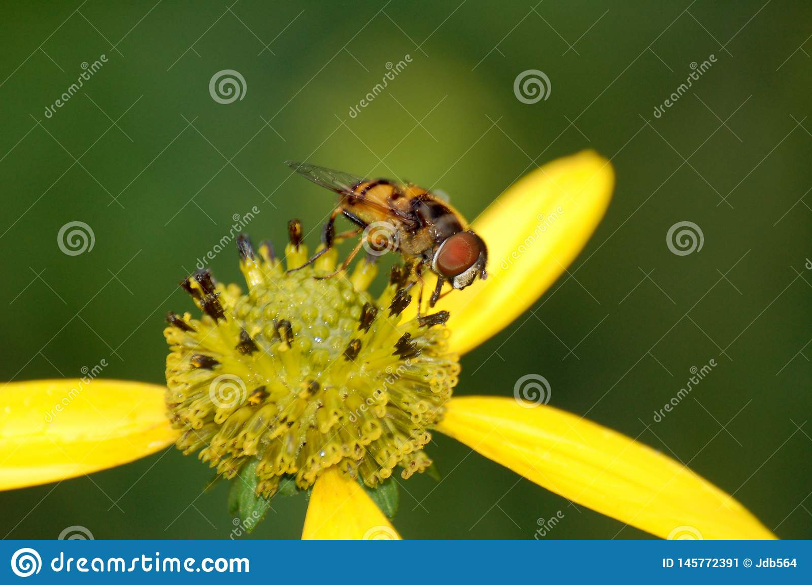 A small fly on a yellow flower