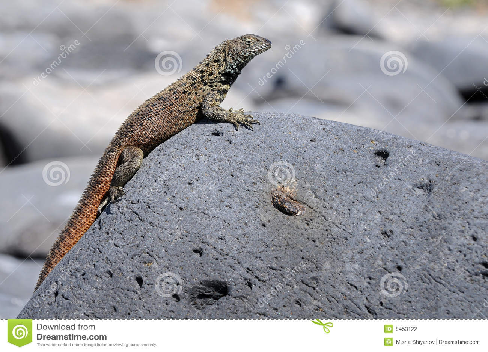 A Small Galapagos Lizard Is Taking The Sun Bath Stock