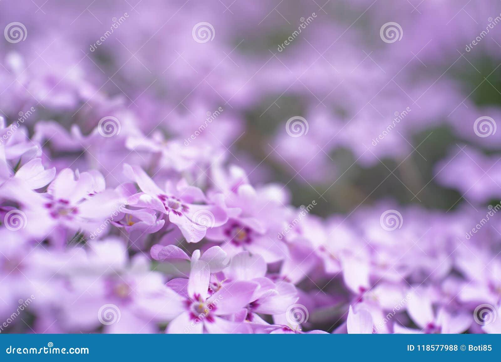 Small Garden Filled With Light Purple Flower Macro World Stock Photo