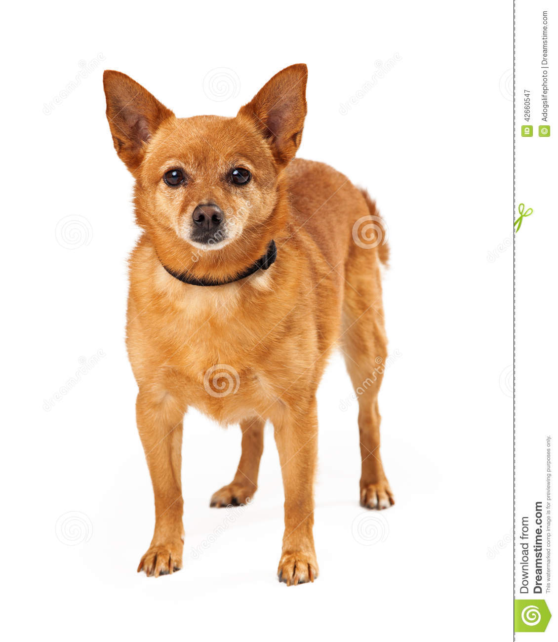 Small White Dogs With Pointy Ears