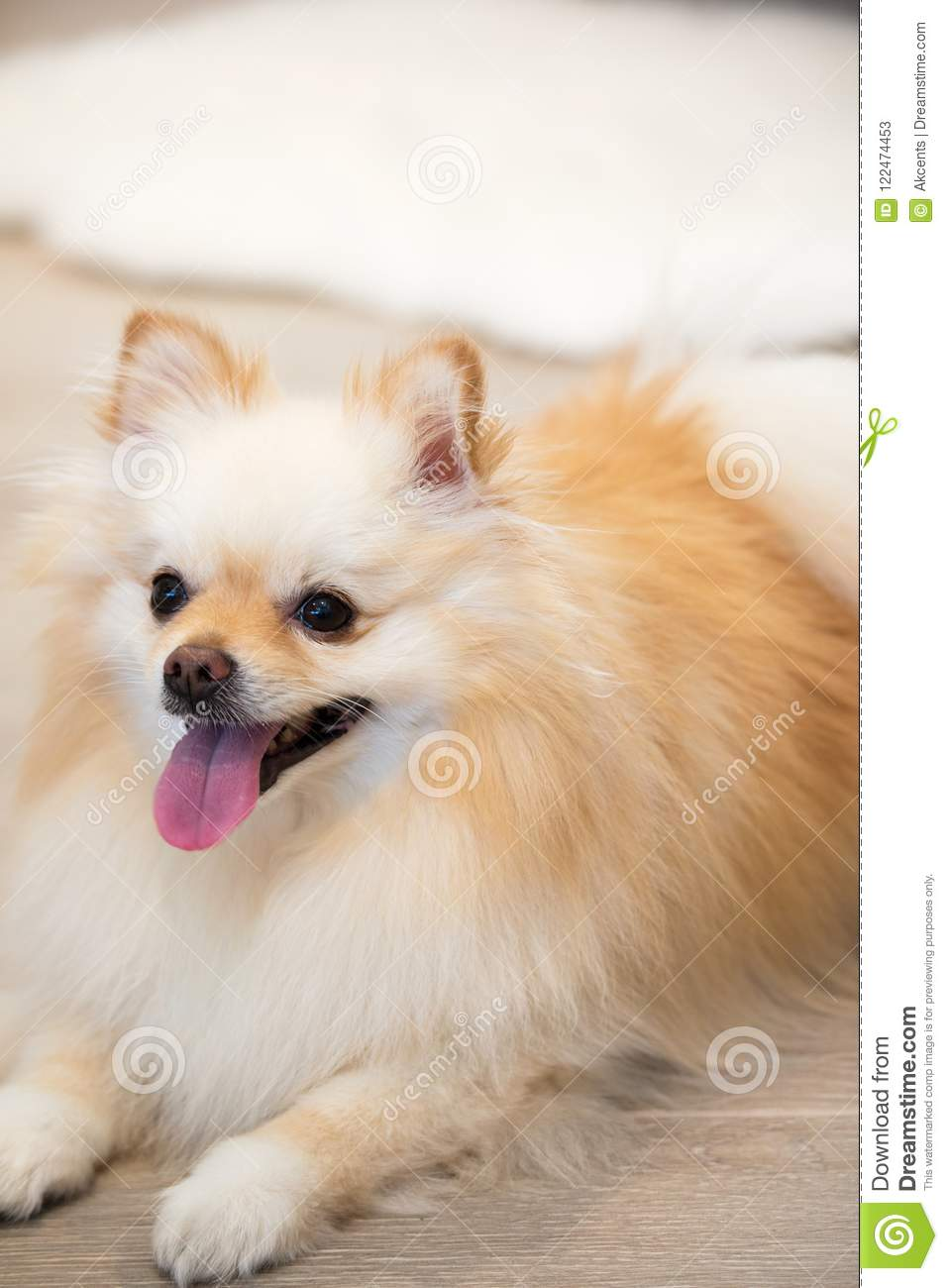 Young Male Dog With Gradient White And Golden Coloring Pomeranian