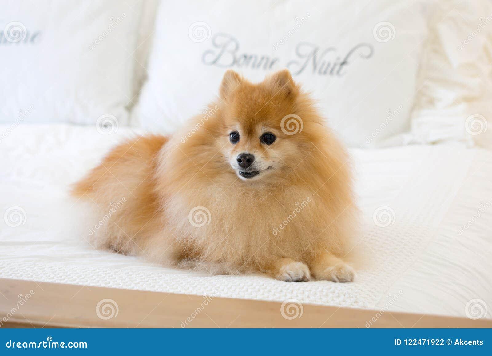 Golden Pomeranian Dog Relaxing Stock Photo Image Of Orange