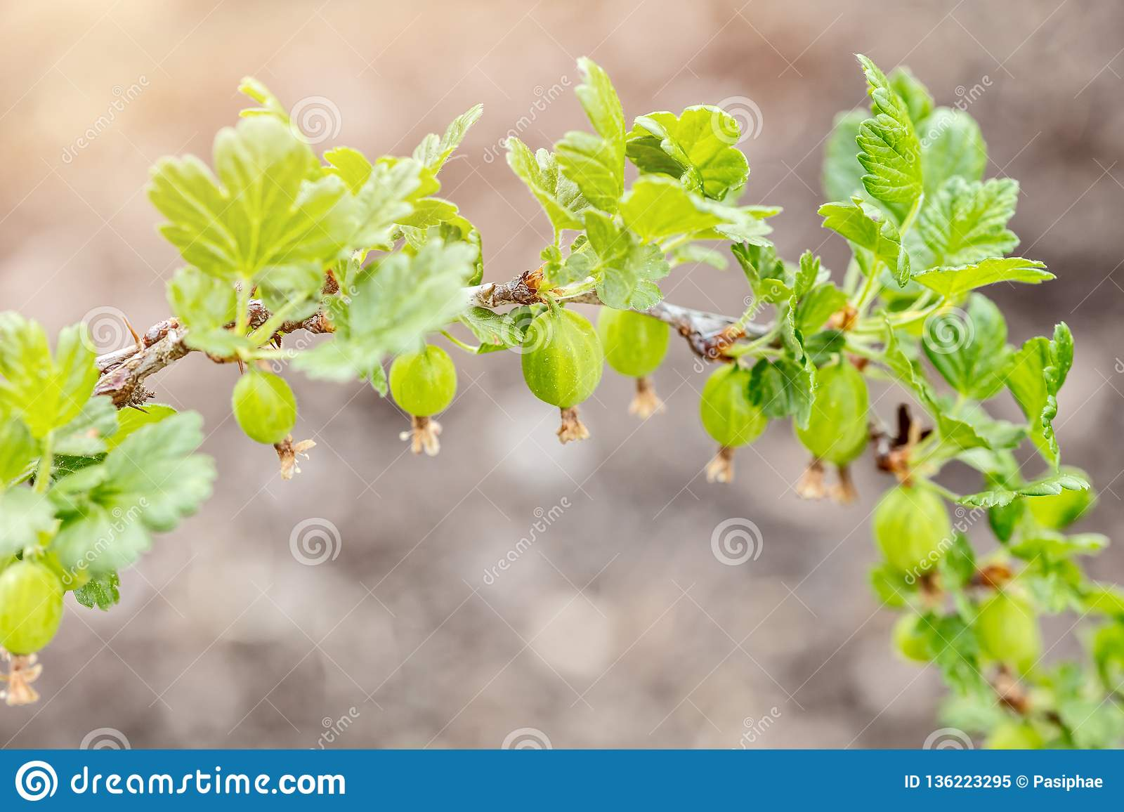Small Gooseberries on a branch, growth and maturity of Ribes uva-crispa