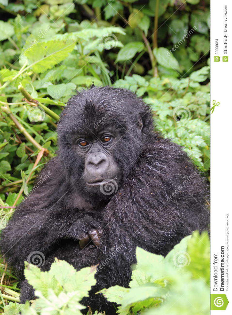 an analysis of gorillas Produced slimme an analysis of gorillas oplossingen lone star college was founded in 1973 and offers associate degrees.