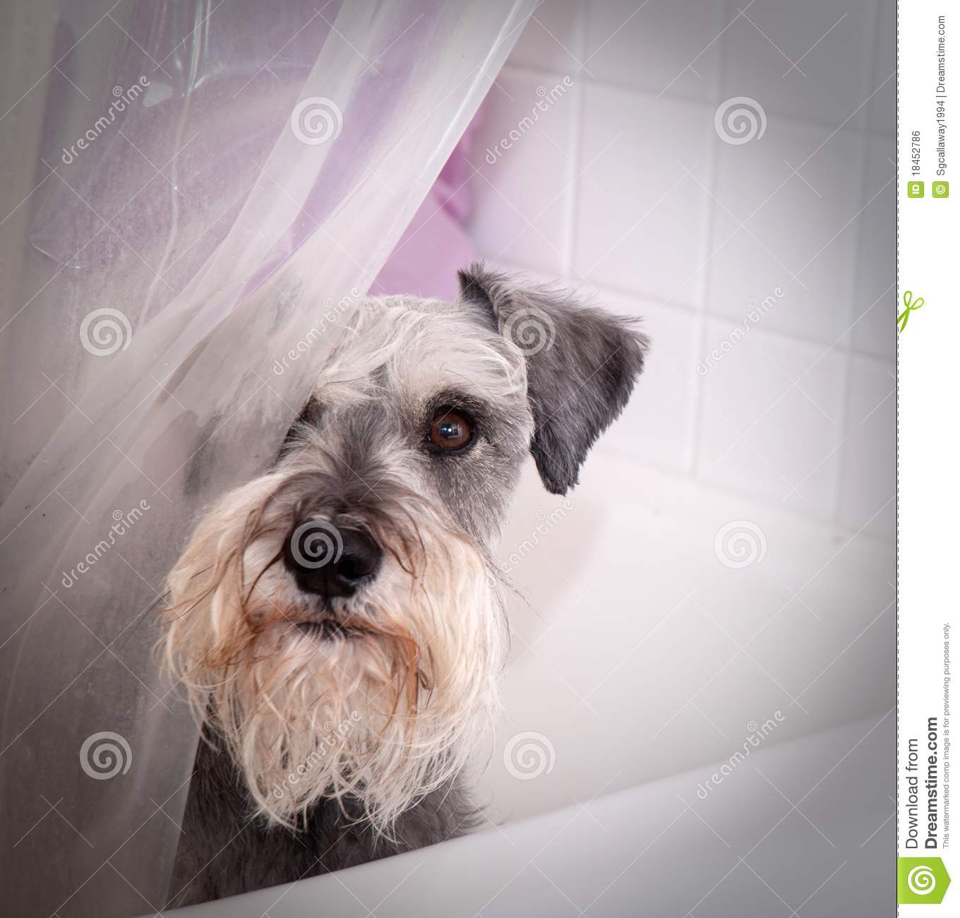 Small Gray Dog In Bath Tub Stock Photo Image Of Inside
