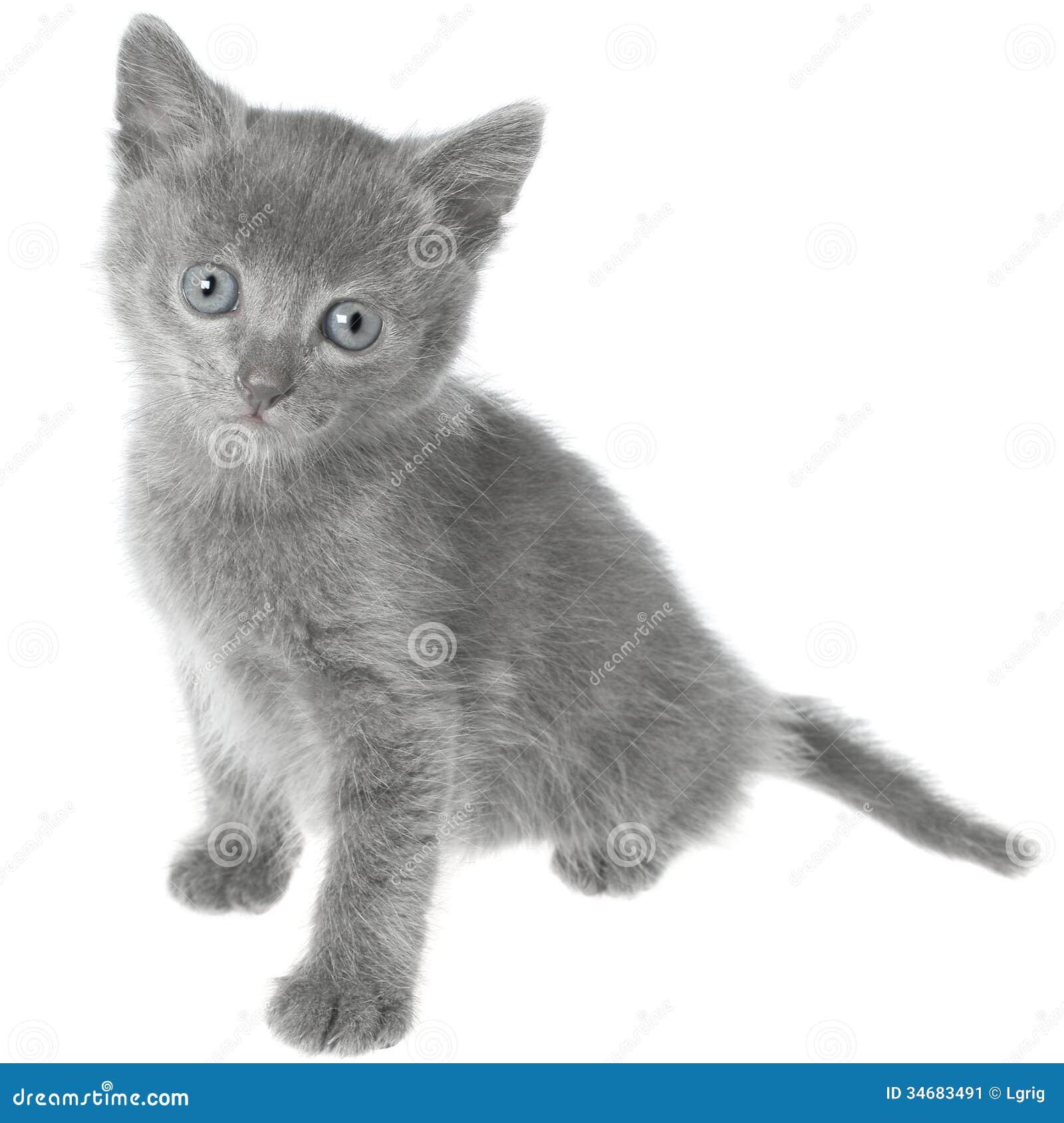 Small Gray Shorthair Kitten Sitting Stock Image Image