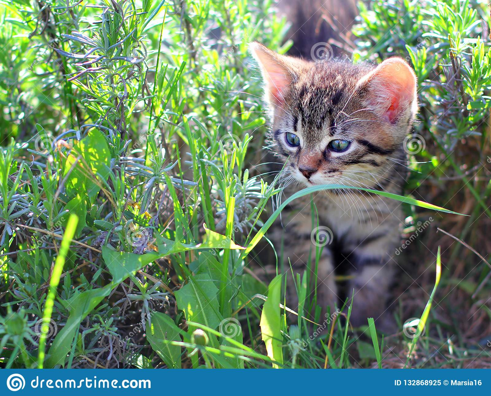 Kitten walking through the grass