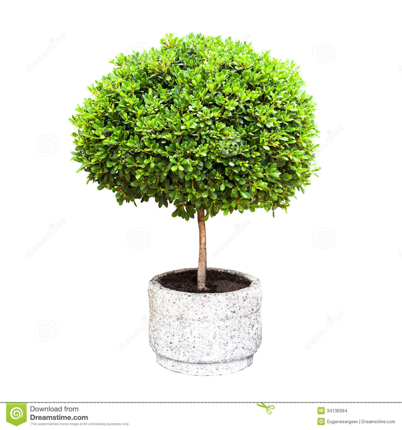 Small green decorative tree growing in a pod stock photo for Short trees