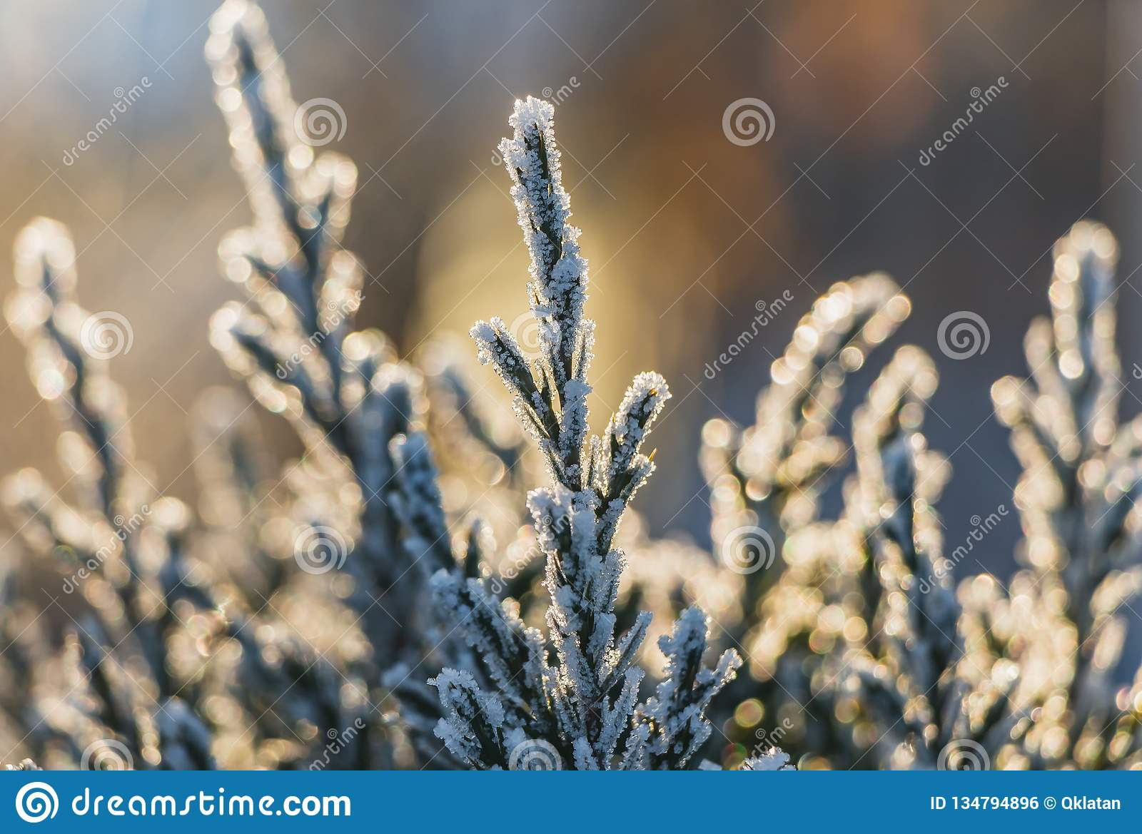 A small green juniper tree with white snow and frost and bokeh lights for Christmas and New year decorations in a winter garden