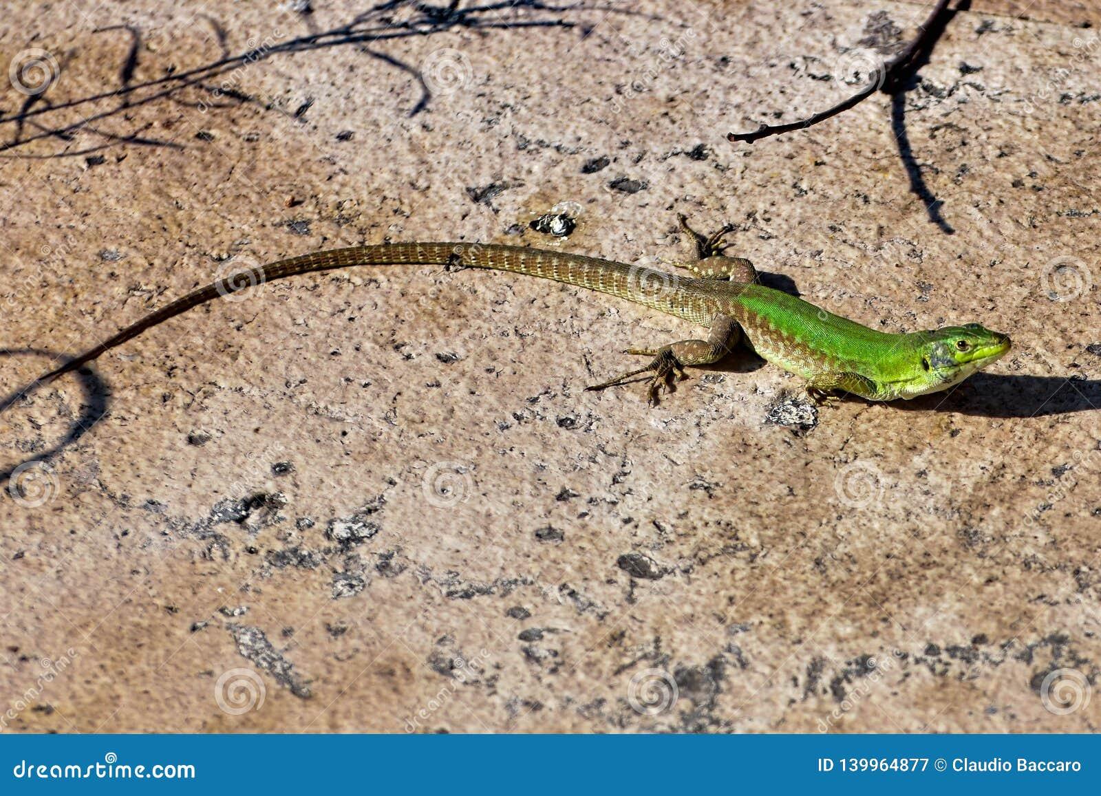 A small green llizard looking