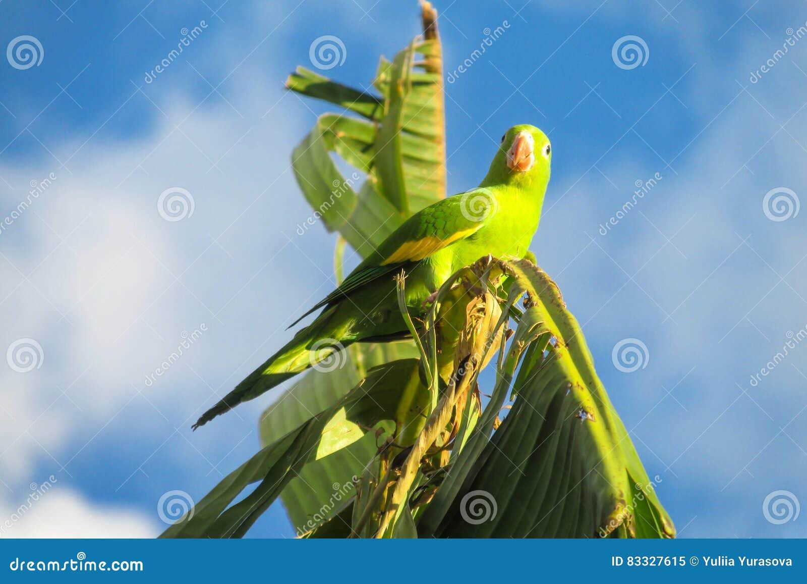 Small green parrot on banana tree branch