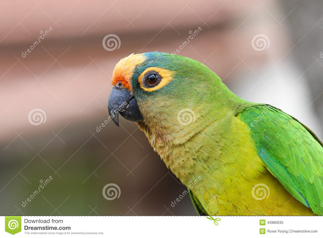 small green parrot stock photo image 43980635