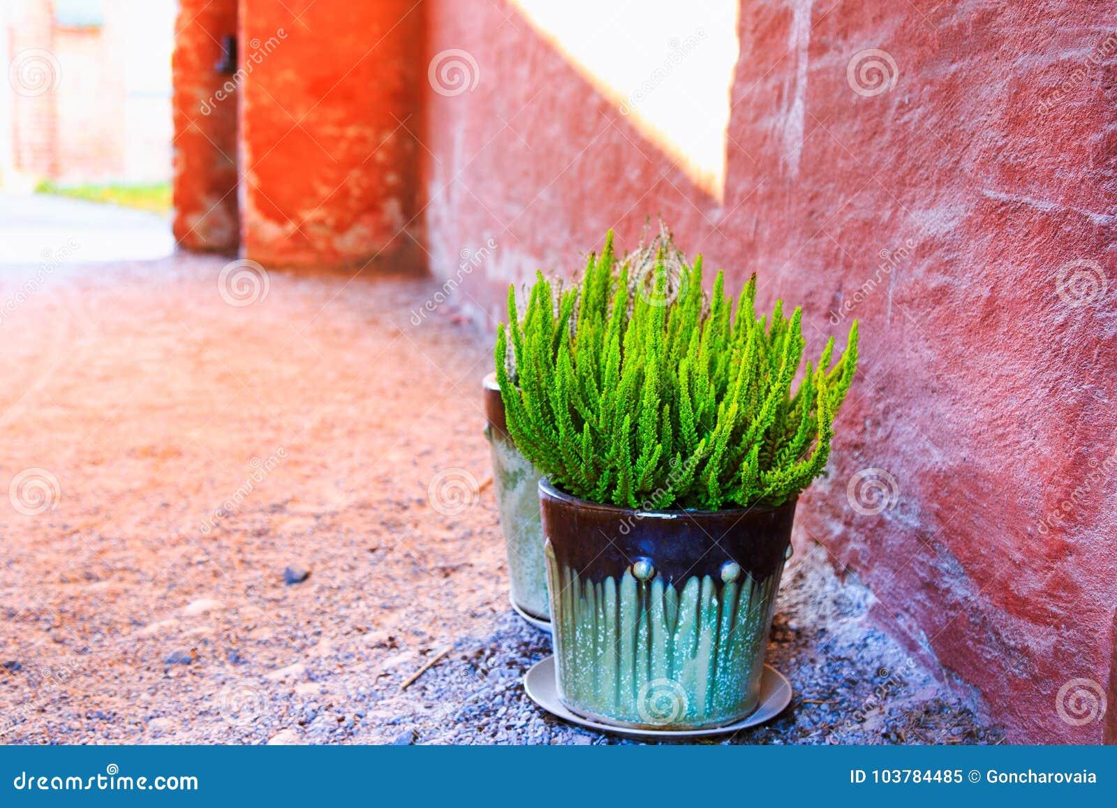 Small Green Plant Heather Calluna Vulgaris In Ceramic Flower