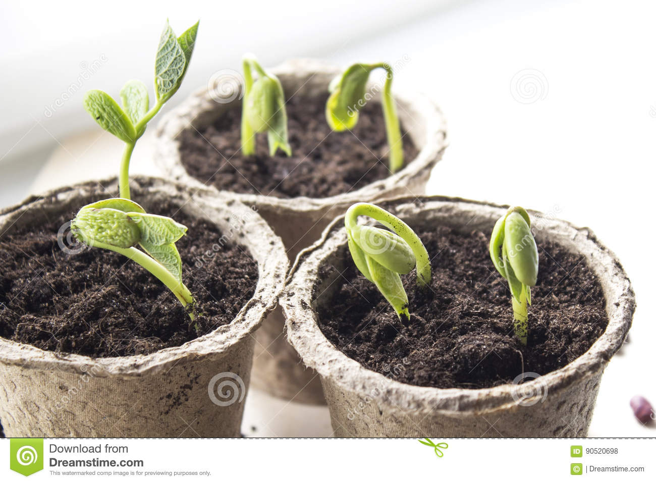 Small green sprouts in peat pots on the window