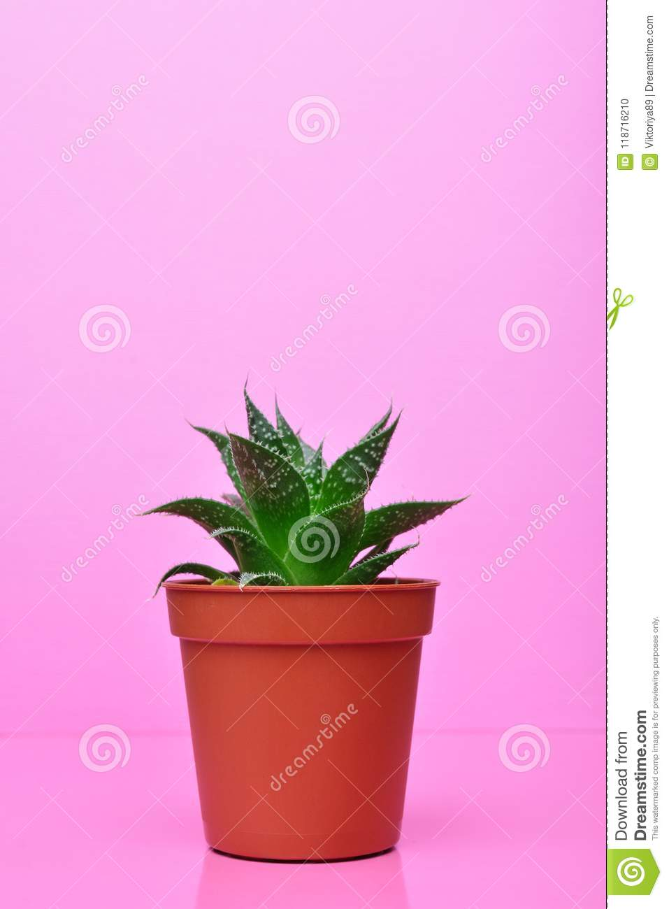 Small Green Succulent On Bright Pink Background Stock Photo Image