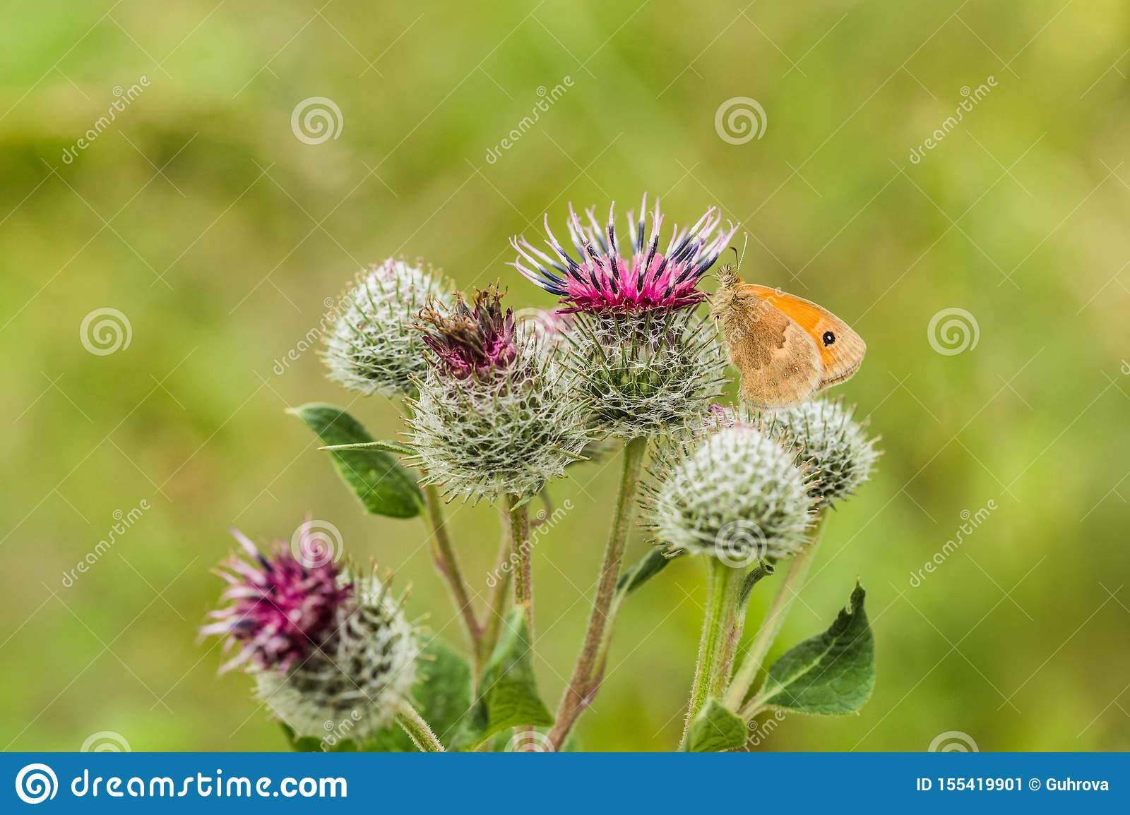 The small heath, an orange and brown butterfly, on thistle