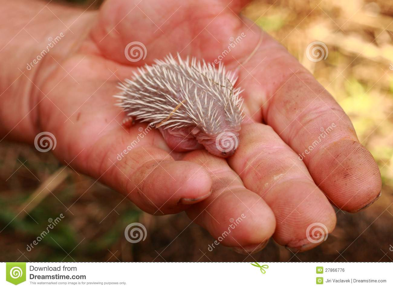 Hedgehog Clipart Pictures