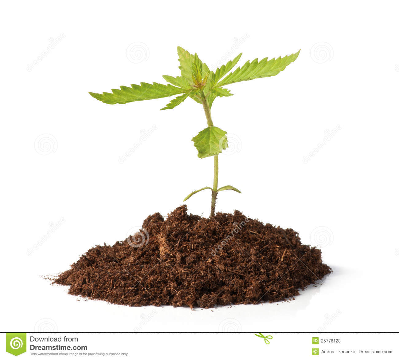 Small hemp sprout growing royalty free stock photos image 25776128