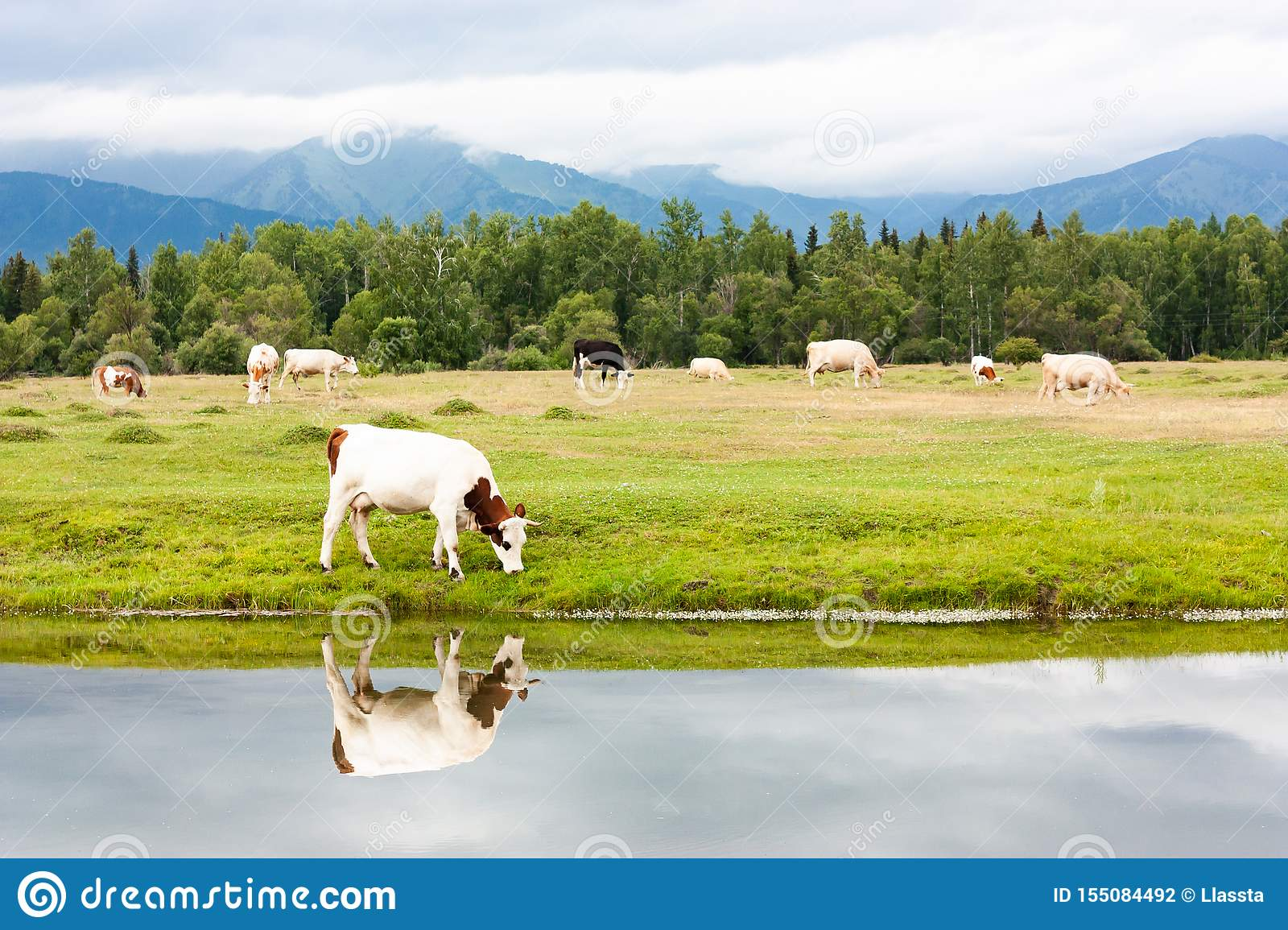 A small herd of cows grazes by the river in a meadow. Eat fresh green grass. A cow is reflected in the water