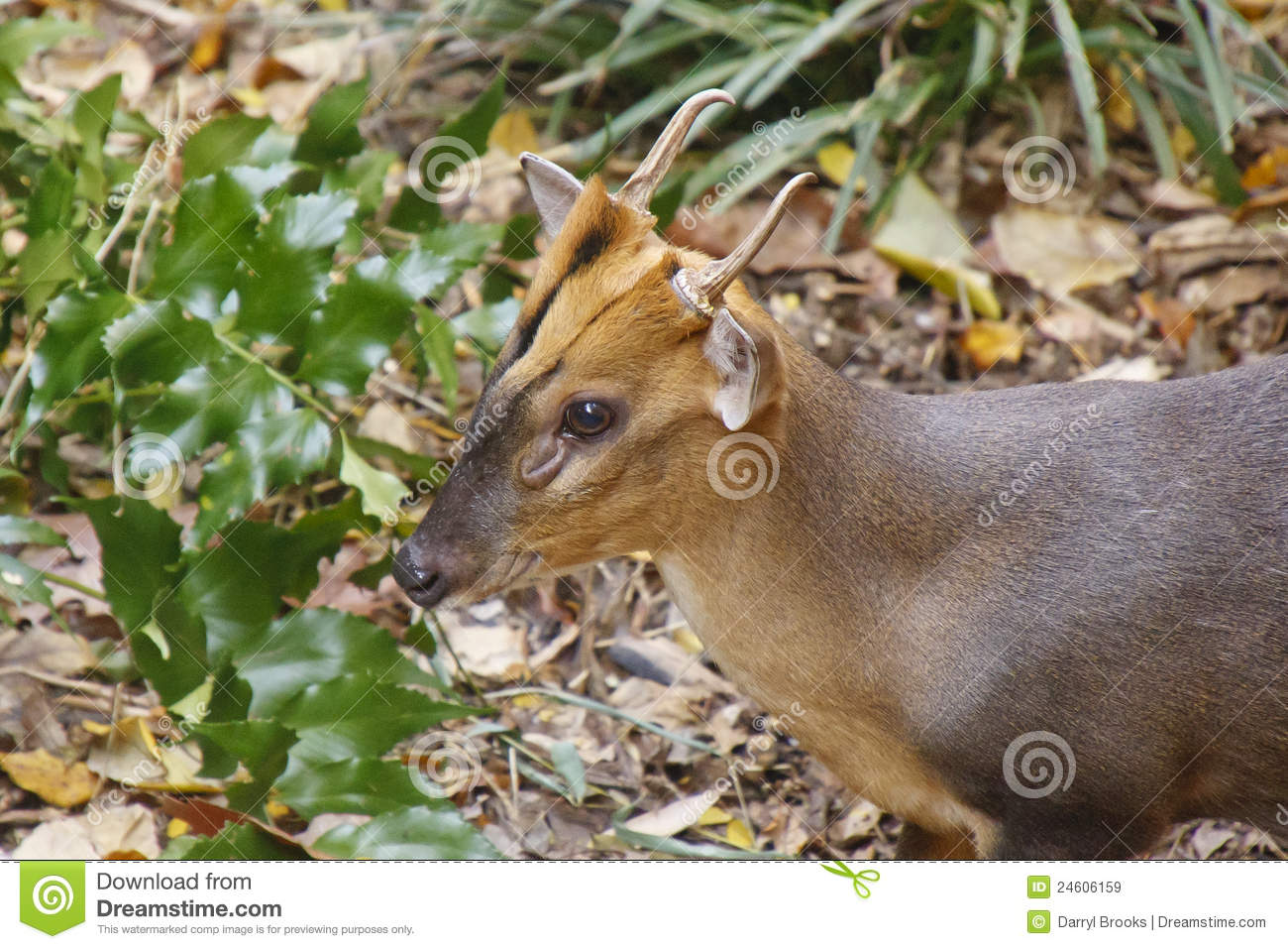 Small horned deer in forest royalty free stock images image