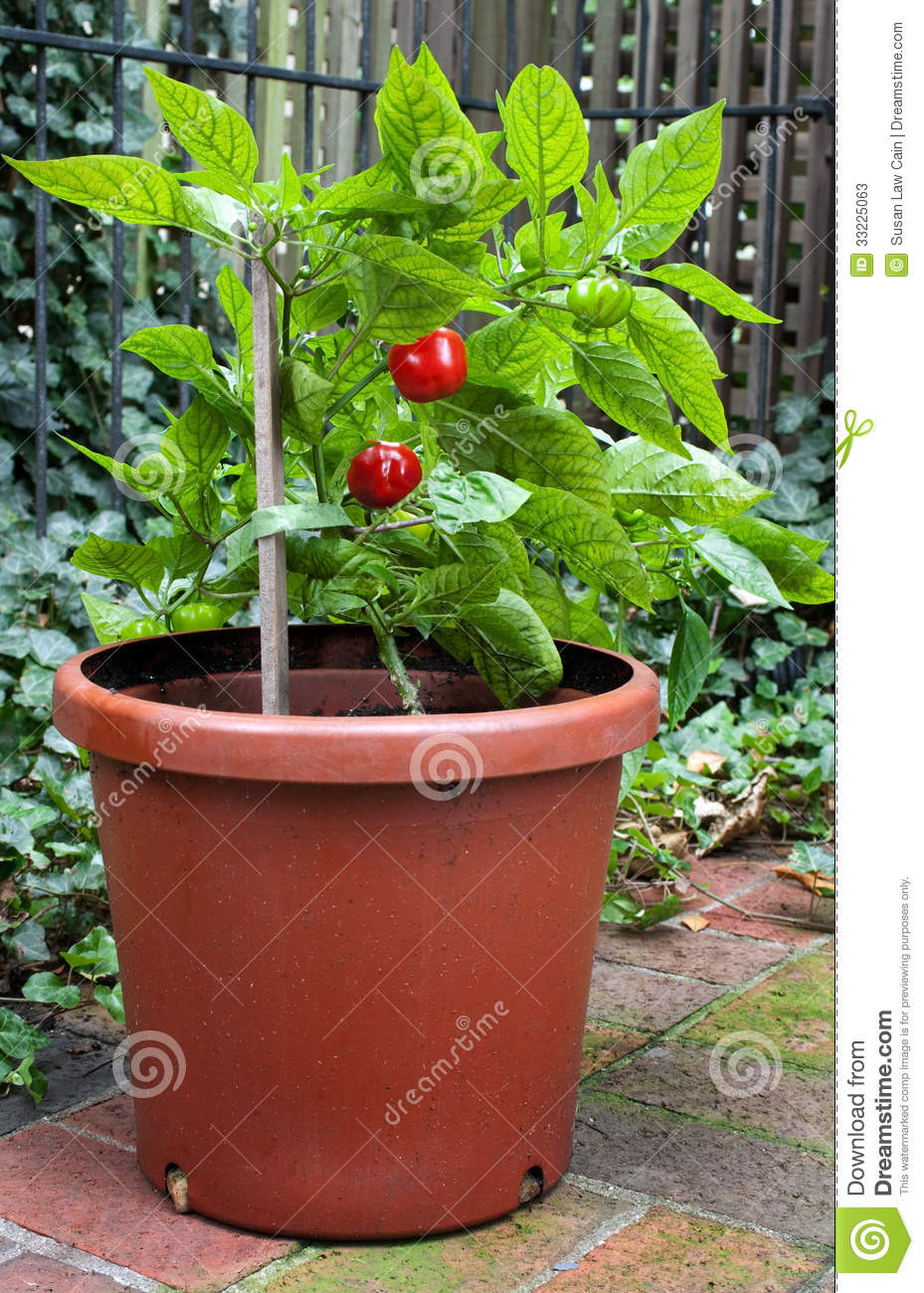 Small Hot Pepper Plant Stock Photos - Image 33225063-8244