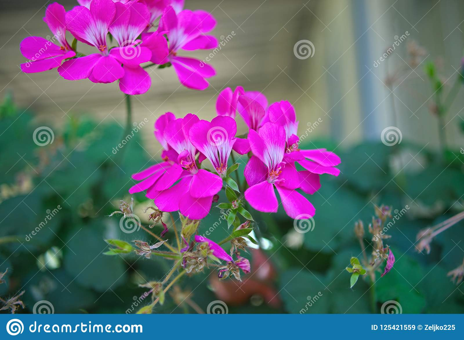 Small houseplant blooming with pink flowers closeup stock image download small houseplant blooming with pink flowers closeup stock image image of flower mightylinksfo