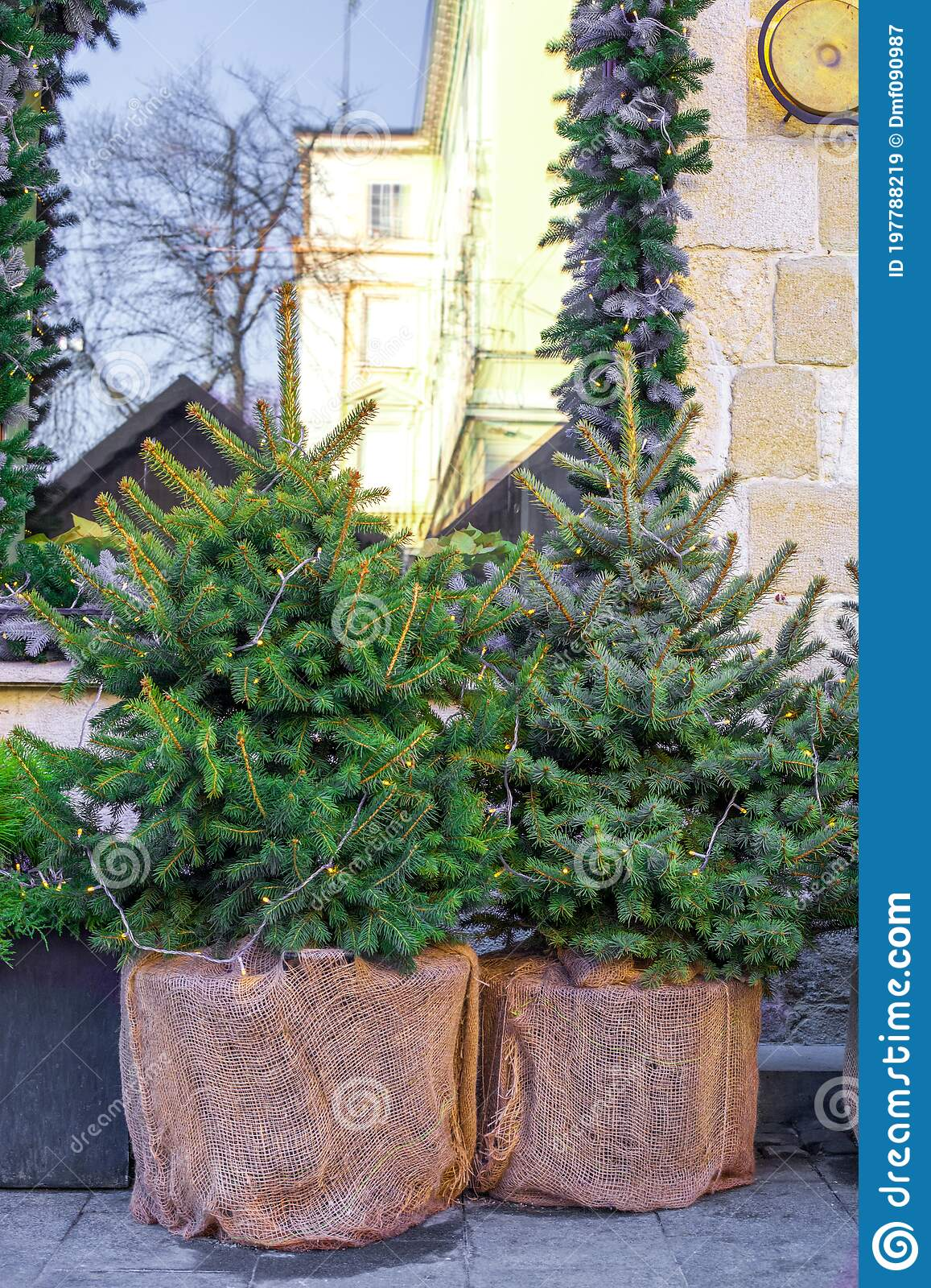Small Illuminated Spruce Trees In Pots City Street In Front Of House Stock Image Image Of Evergreen Conifer 197788219