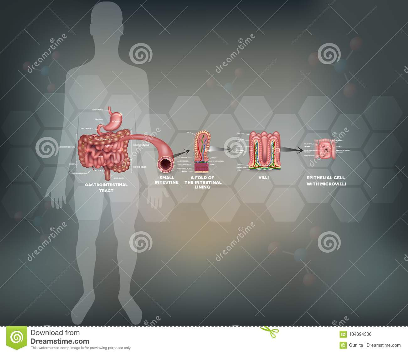 Stomach and colon anatomy stock vector. Illustration of body - 104394306