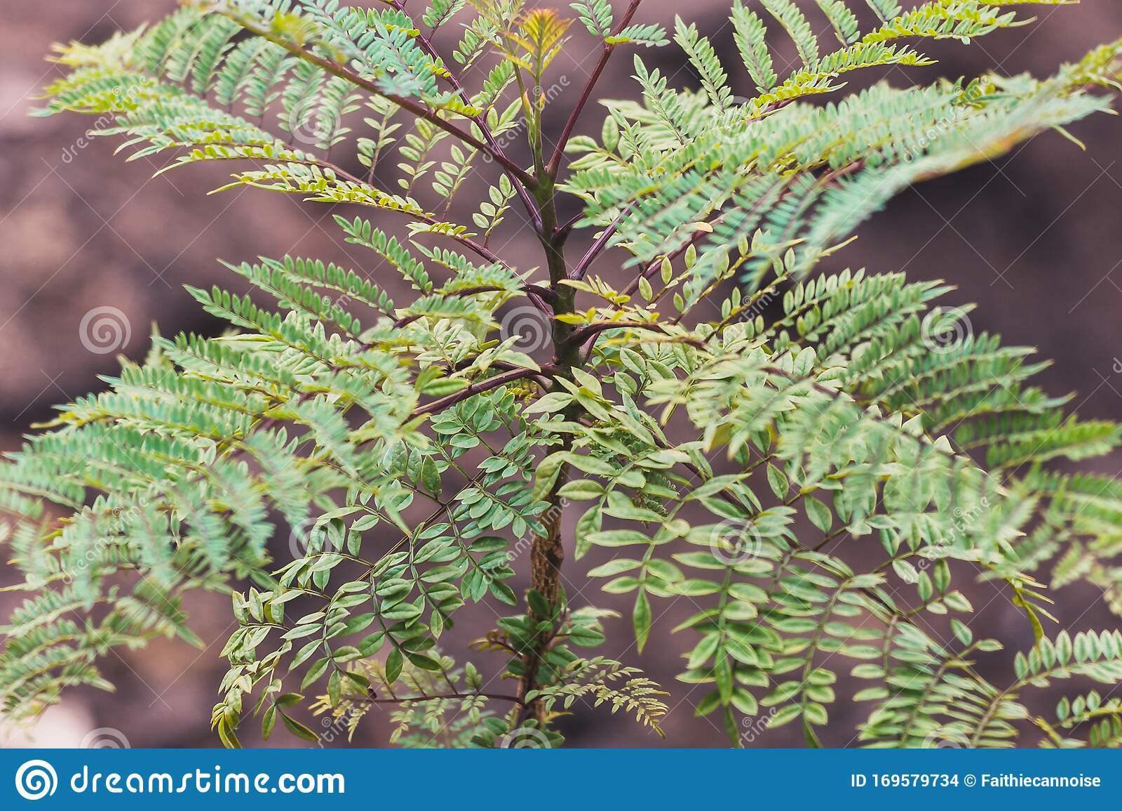 Small Jacaranda Tree Branch With Tiny Leaves Stock Photo Image Of Tropical Backyard
