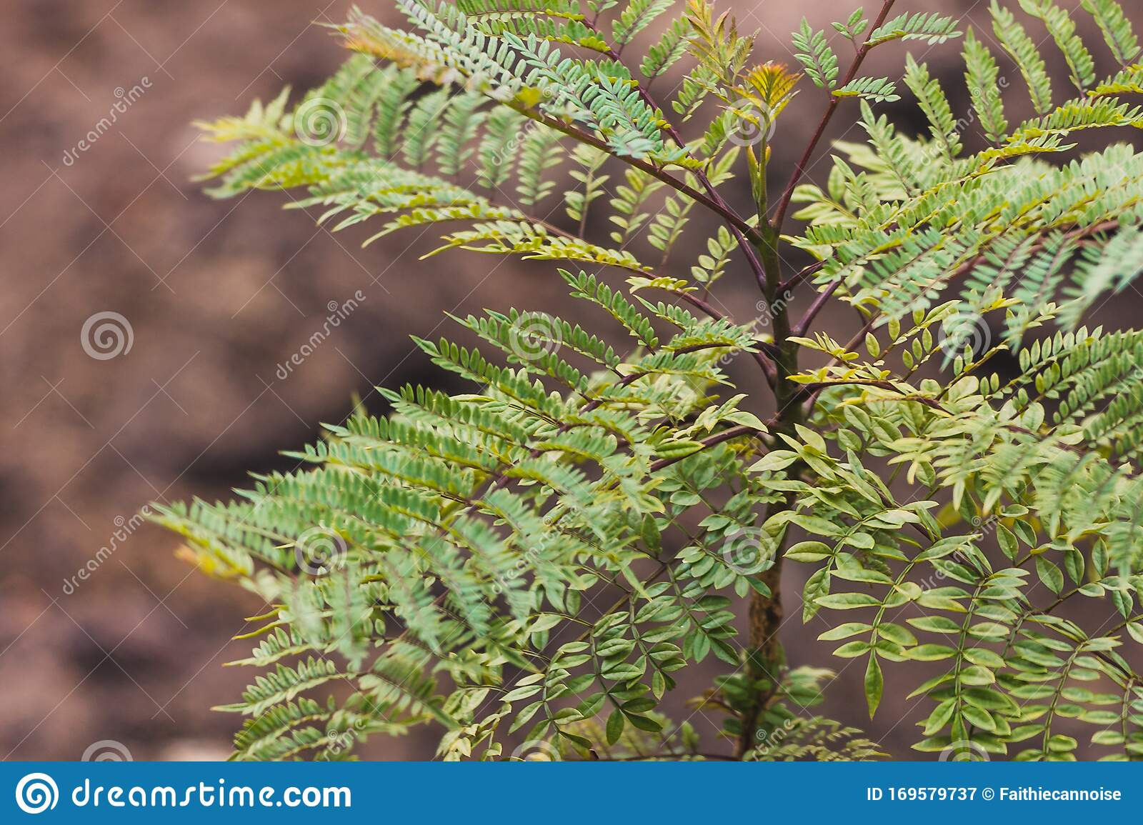 Small Jacaranda Tree Branch With Tiny Leaves Stock Image Image Of Flora Vibrant
