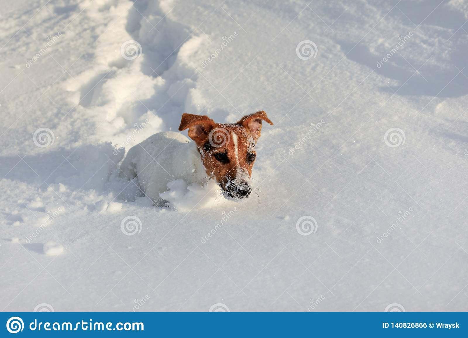 Small Jack Russell Terrier Running In Deep Snow, Her Face White From