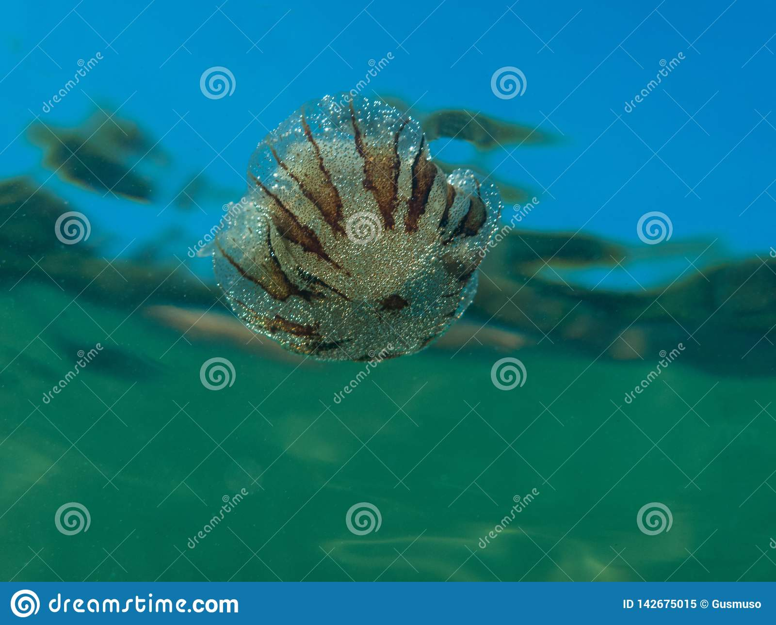 A Small Jellyfish From The Family Of Compass Jellyfish ...
