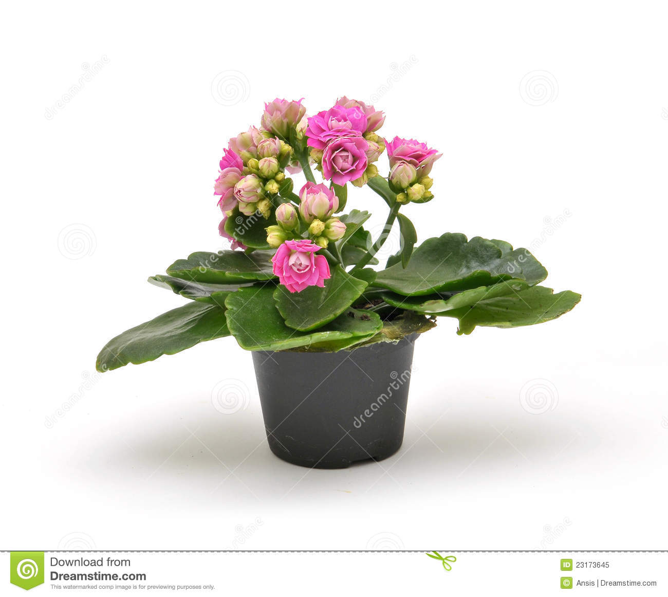small kalanchoe flowerpot royalty free stock photo image 23173645