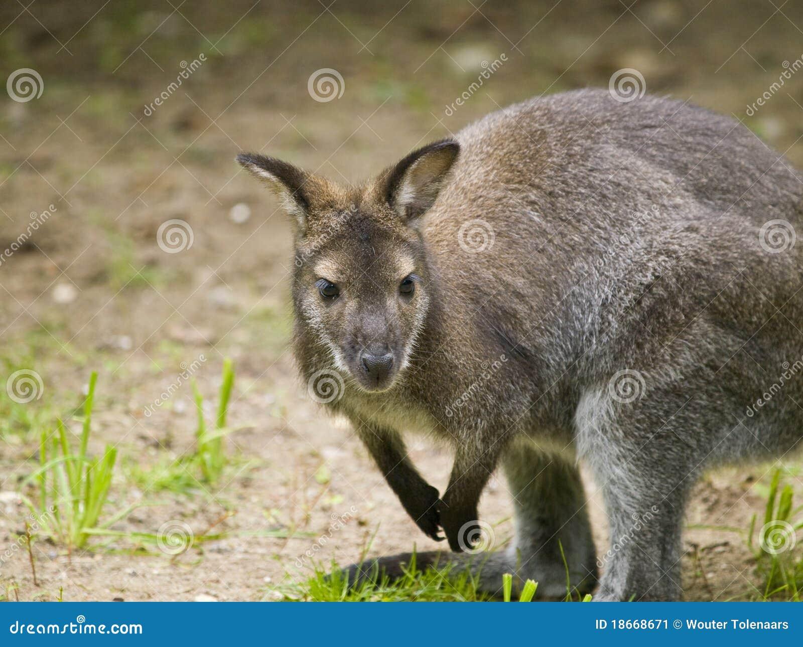 Small Kangaroo Stock Image Image Of Looking Creature