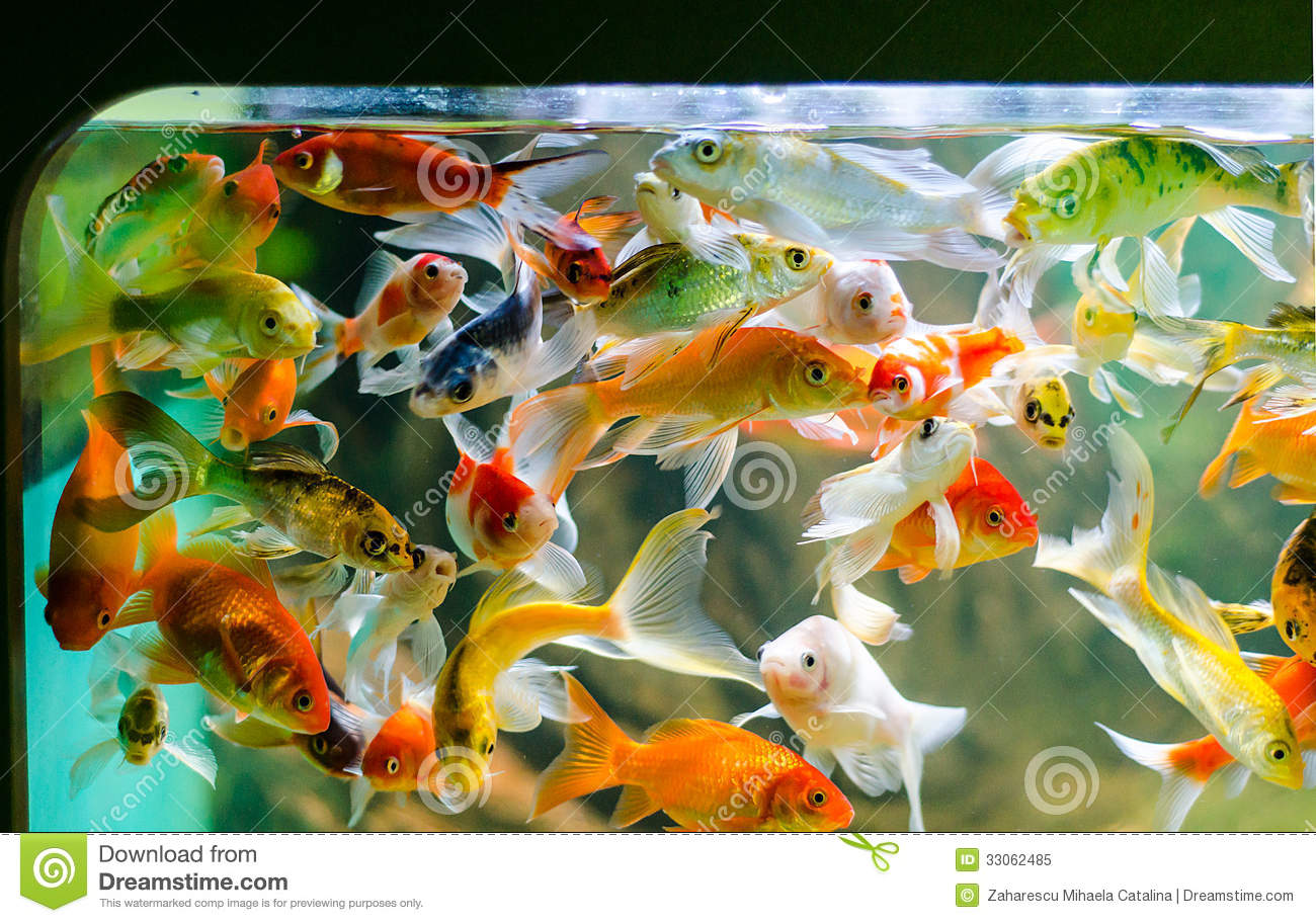 Small koi carp royalty free stock photo image 33062485 for Koi fish aquarium