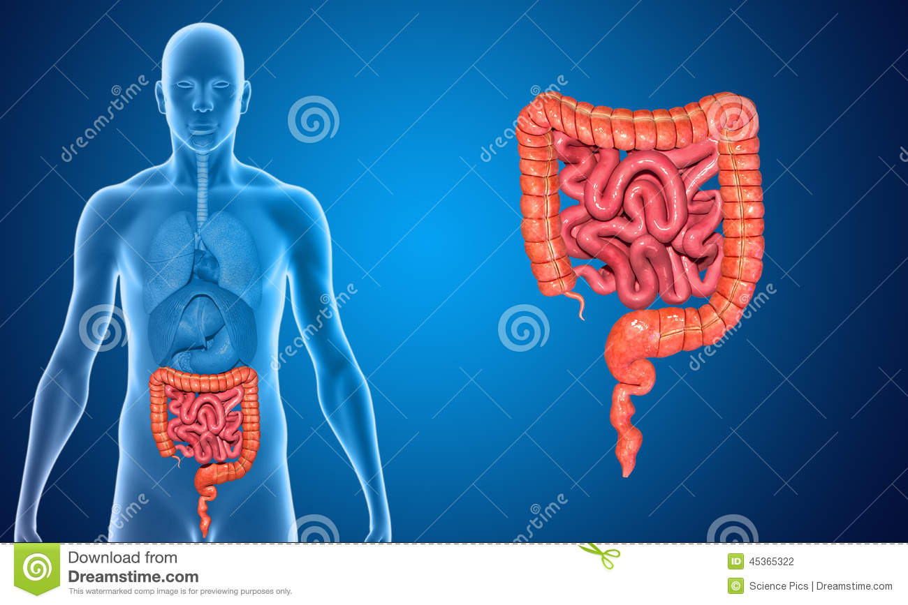 small and large intestine stock illustration