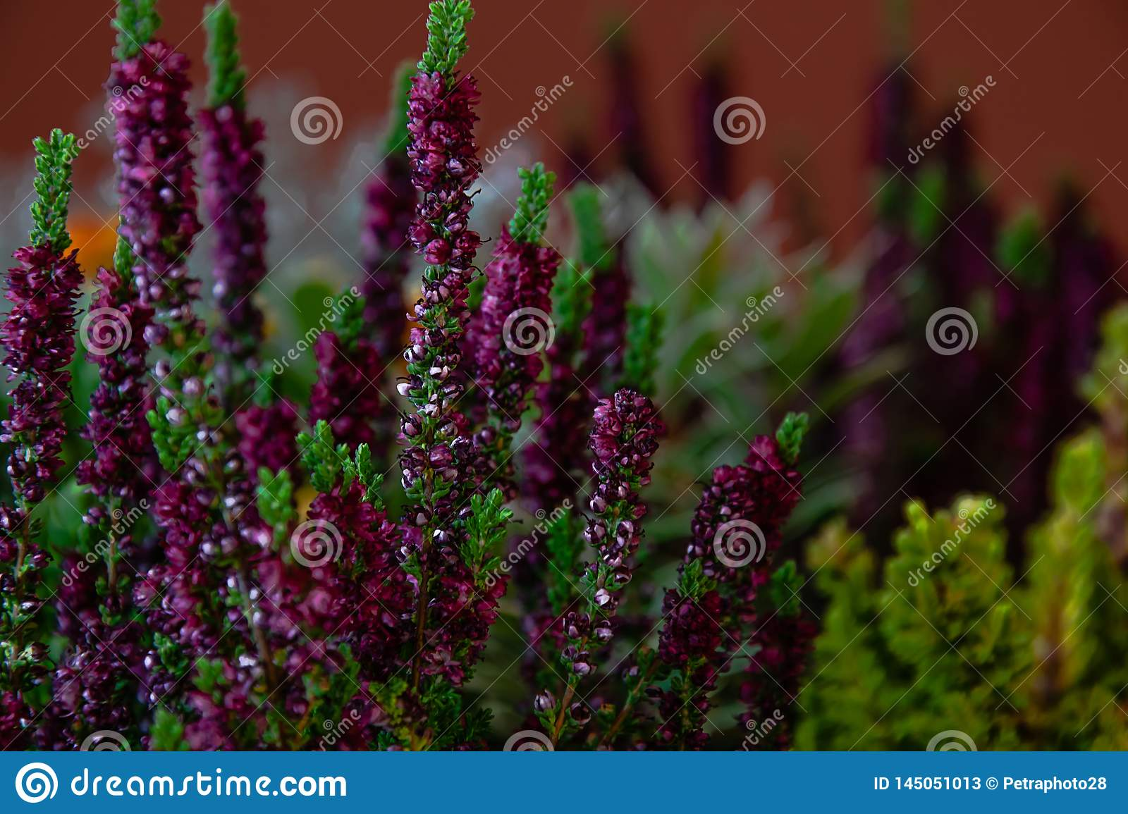 Small lavender growing inside a large flower pot inside a house