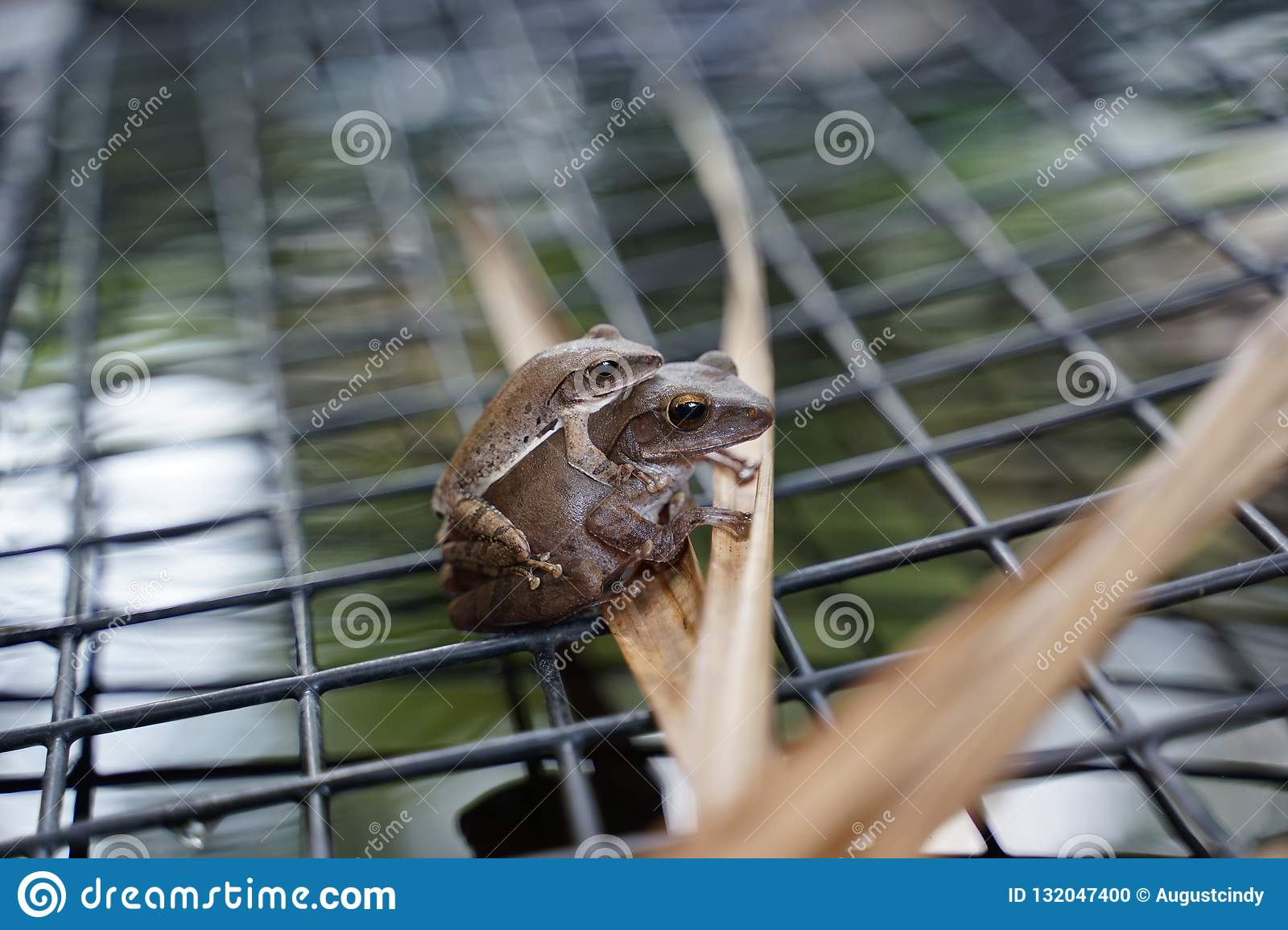 Small leaf frog on top of the larger one on the mesh over the po