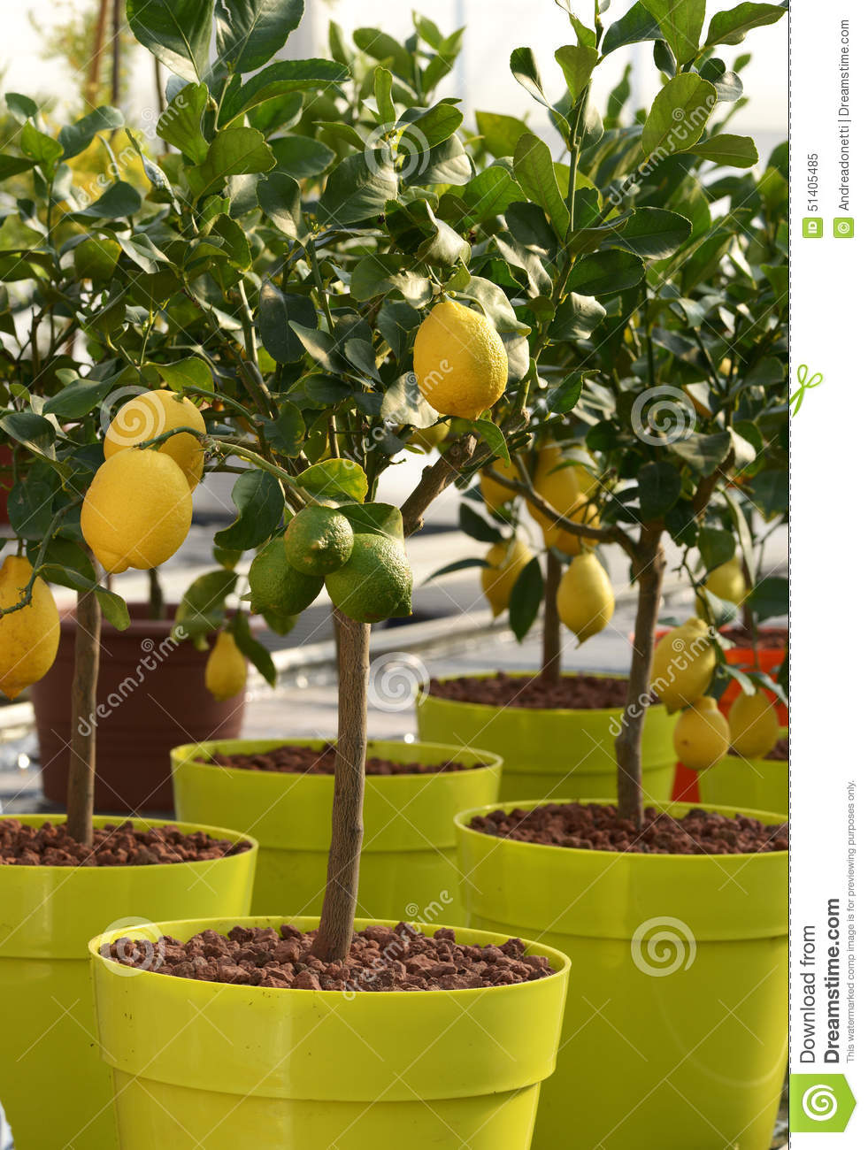 100 pots for fruit trees growing guava in pots guava tree c
