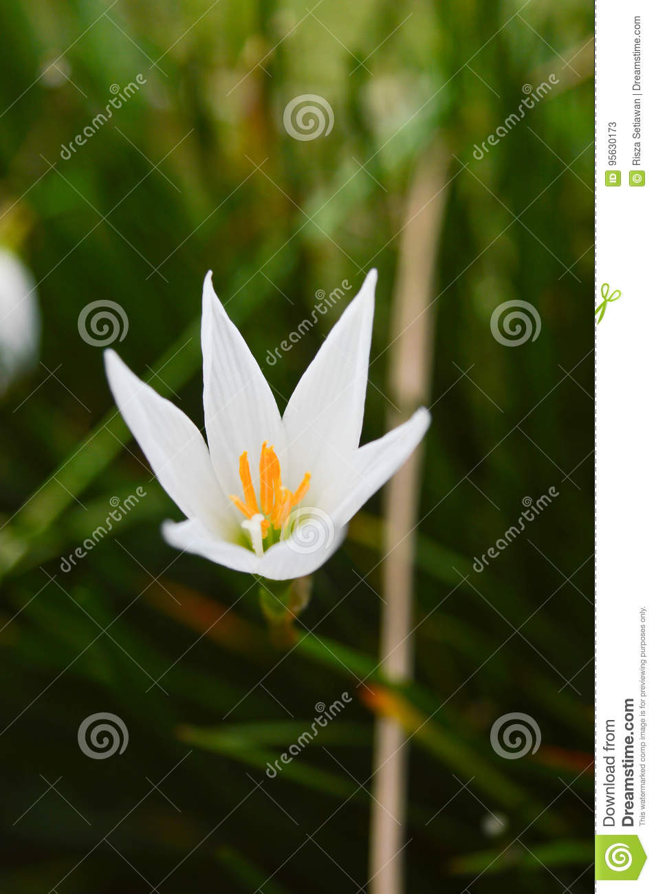Small lilium flower in the morning stock image image of white download small lilium flower in the morning stock image image of white plant izmirmasajfo