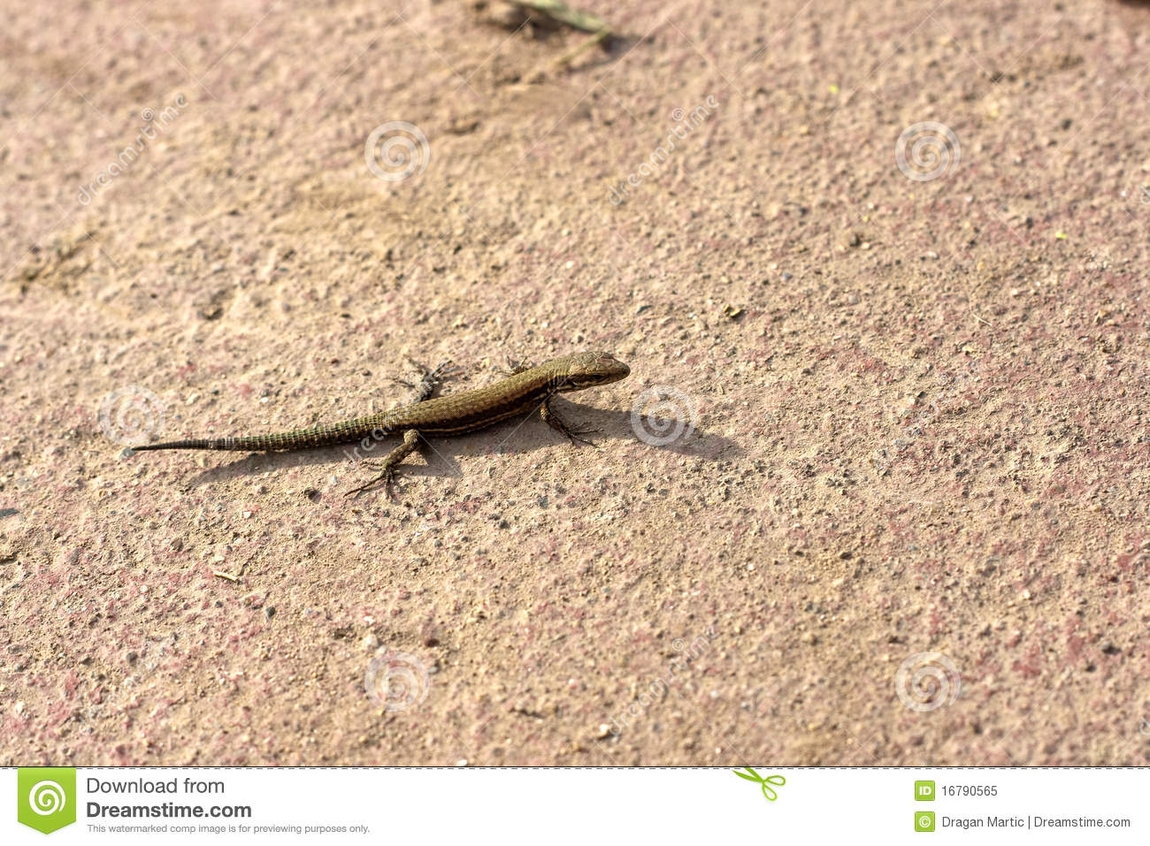 Small Lizard Royalty Free Stock Photo - Image: 16790565