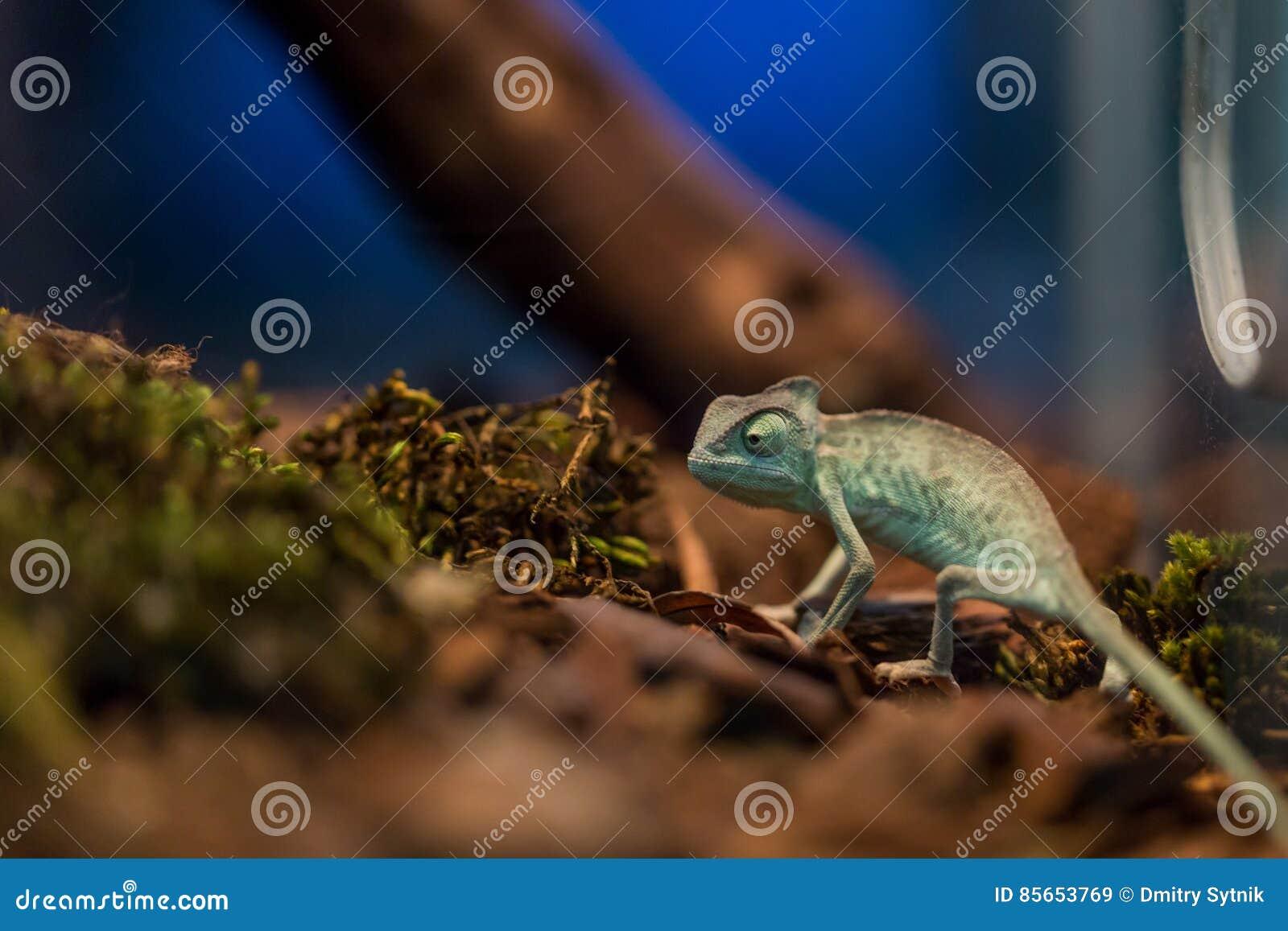 Small Lizard In Terrarium For Home Decor Stock Image Image Of Skin